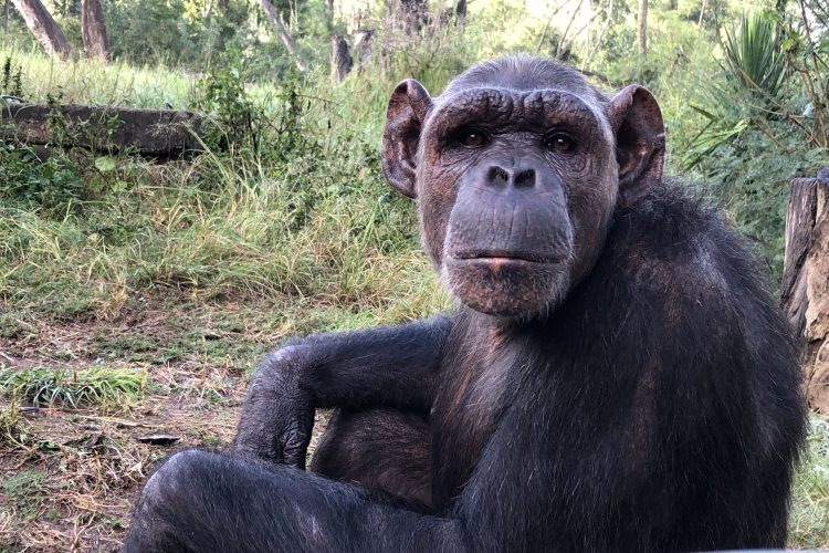 Chimpanzee sitting at sanctuary in South Africa