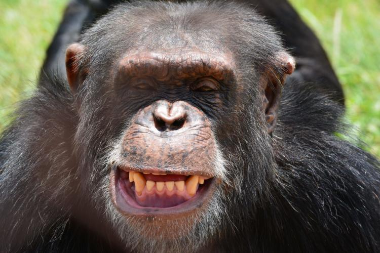 Chimpanzee smiling in South Africa