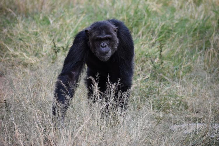 Chimp walking through grass in South Africa