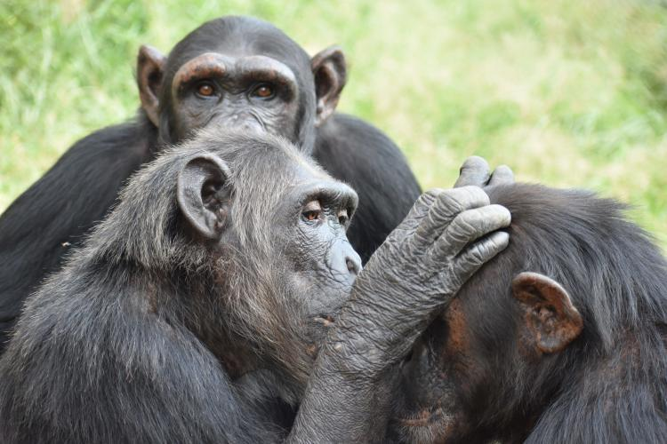Group of Chimpanzees in South Africa