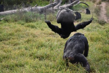 Chimps playing at sanctuary in South Africa