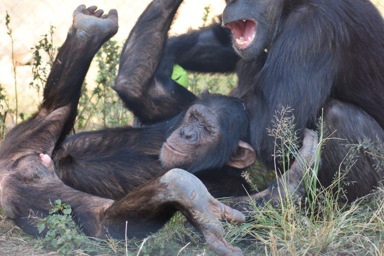 Chimpanzee playing in South Africa