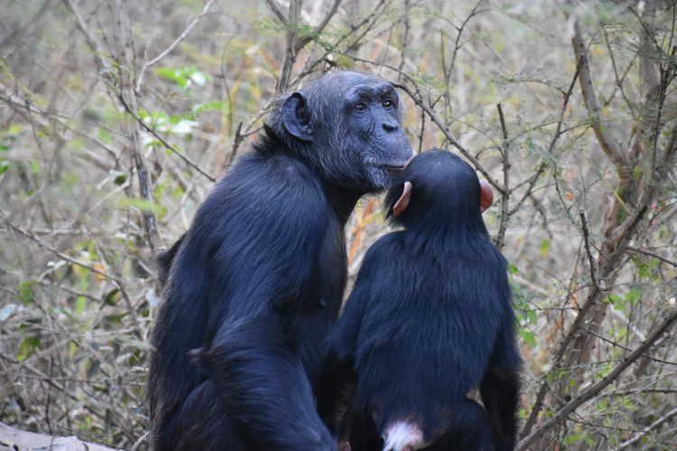 Mother and baby chimps in South Africa