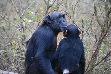 alttagVolunteer with Chimpanzees | Jane Goodall Sanctuary | WorkingAbroad