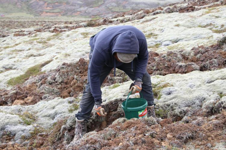 Tree planting in Iceland