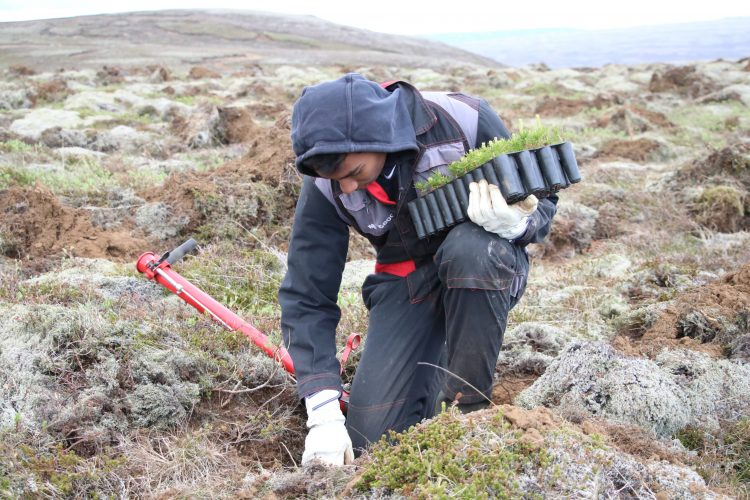Volunteers planting tree saplings in Iceland