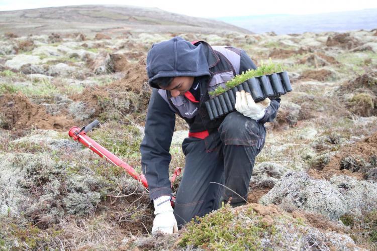 Volunteers planting tree saplings in Iceland