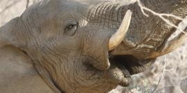 Desert elephant Voortrekker in Namibia