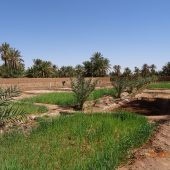 Rehabilitation of an organic oasis in the Moroccan sahara