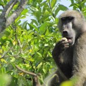 Volunteer Primate Research Assistant, South Africa