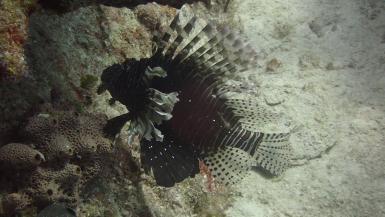 Lionfish reef Cuba