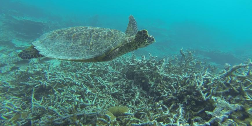 Hawksbill sea turtle mauritius