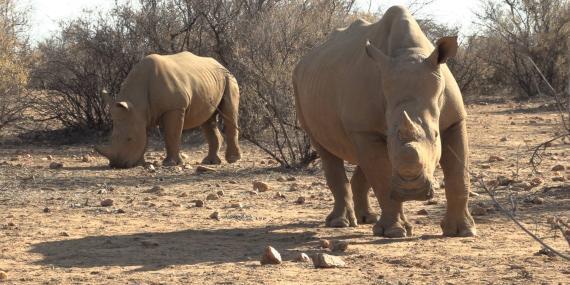 Rhino Research and Anti poaching volunteering