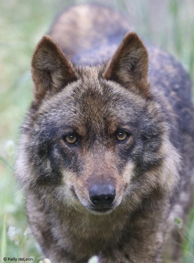 Iberian Wolf in Portugal