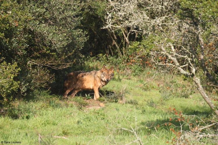 Wolf in foliage in Portugal