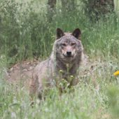 Wolf Conservation Volunteer Project, Portugal