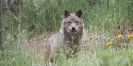 Wolf in grass in Portugal