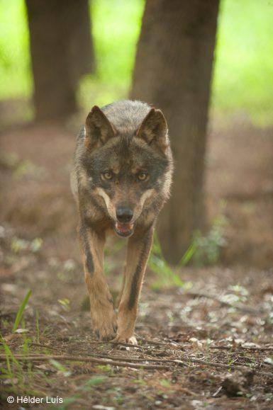 Wolf walking in Portugal