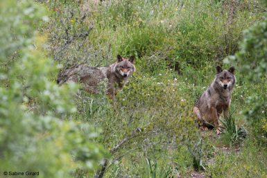 alttagVolunteer in Portugal   Wolf Conservation   WorkingAbroad