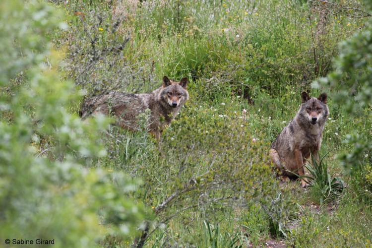 Wolves in Grass in Portugal