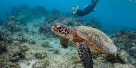 Volunteer swimming with sea turtle in Australia