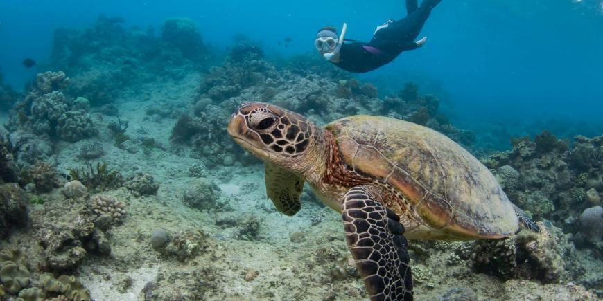 Volunteer swimming with sea turtle in Australia