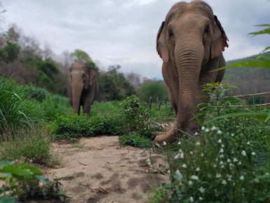 Elephants eating grass