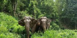 Elephants walking through forest thailand