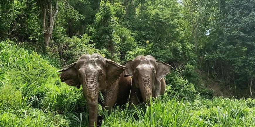Elephants walking through forest thailand