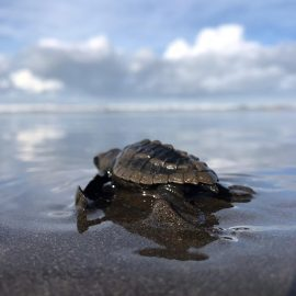 Baby turtle heading for the Pacific ocean