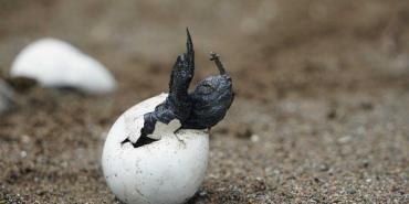 alttagVolunteer with Turtles   Volunteer Costa Rica