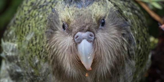Kakapo Bird New Zealanad