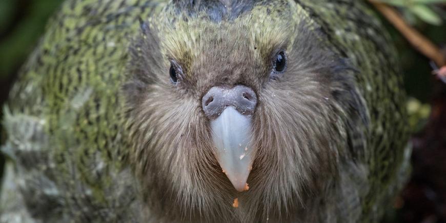 Kakapo Bird New Zealanad