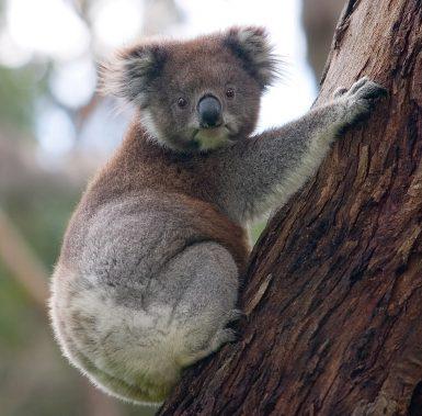 alttagVolunteer with koalas | WorkingAbroad