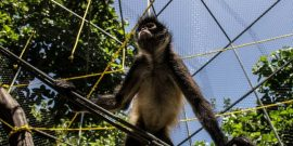 Rescued spider monkey