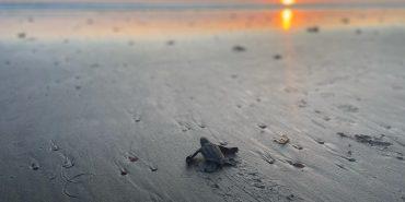 alttagCosta Rica conservation   Sea turtle volunteer   Working Abroad