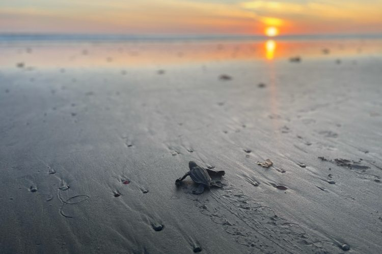 Baby Olive Ridley finding its way to sea, Costa Rica