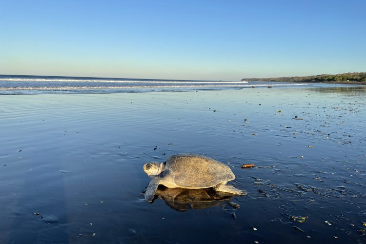 Olive Ridley returning to sea after nesting, Costa Rica