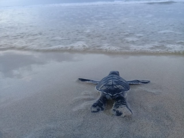 Baby sea turtle release, Galapagos