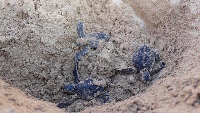 Baby sea turtles, Galapagos