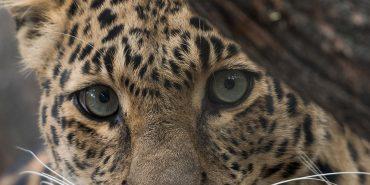 Big Cats & Predators